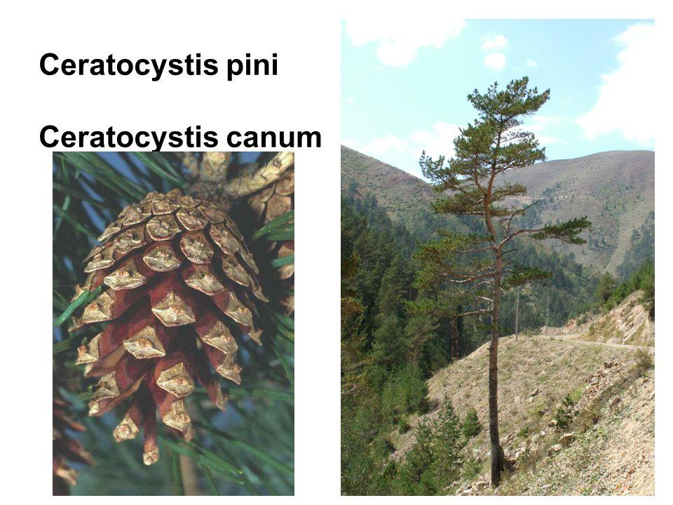 Ceratocystis pini Ceratocystis canum
