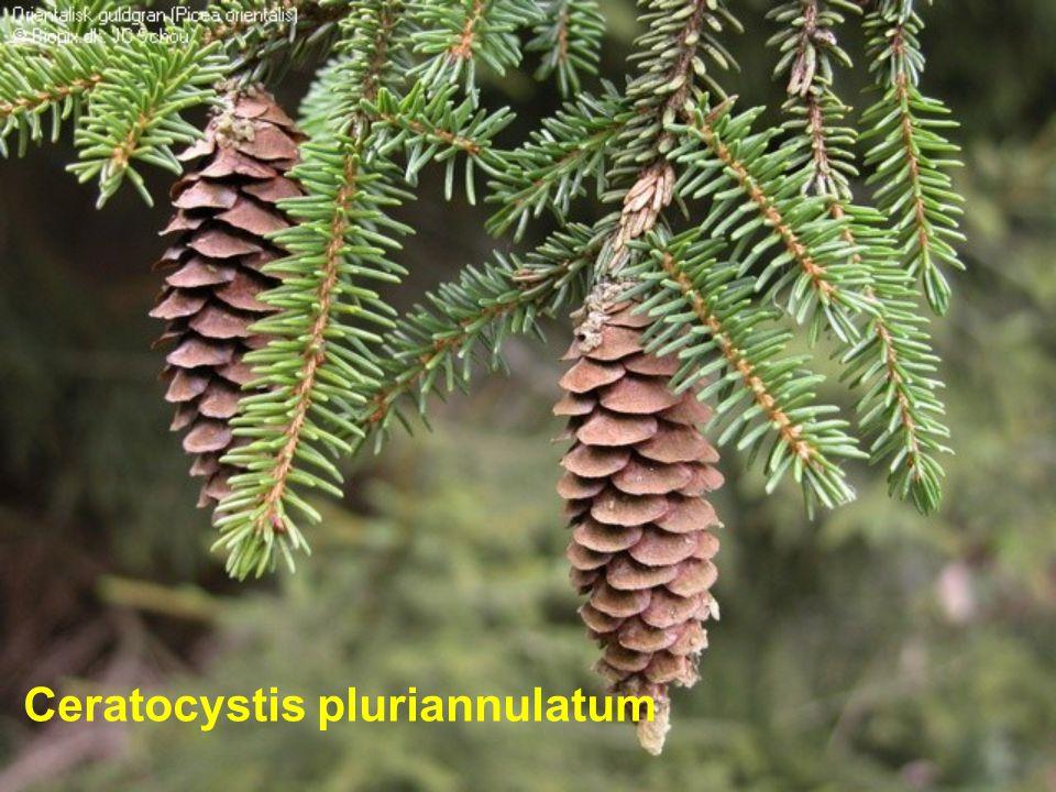 Ceratocystis pluriannulatum