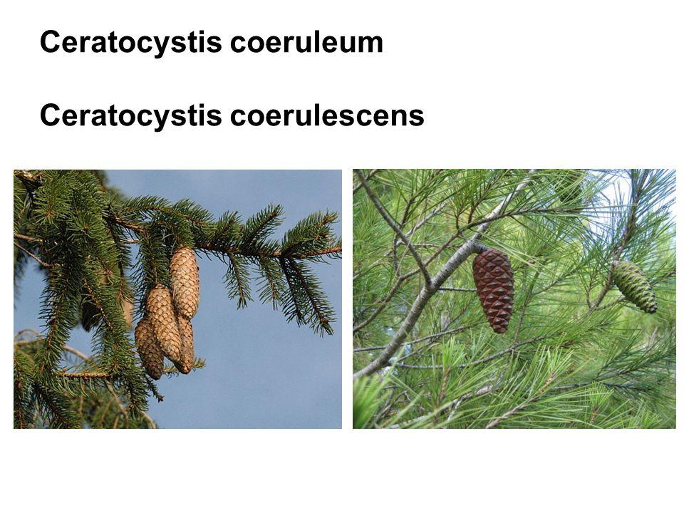 Ceratocystis coeruleum Ceratocystis coerulescens