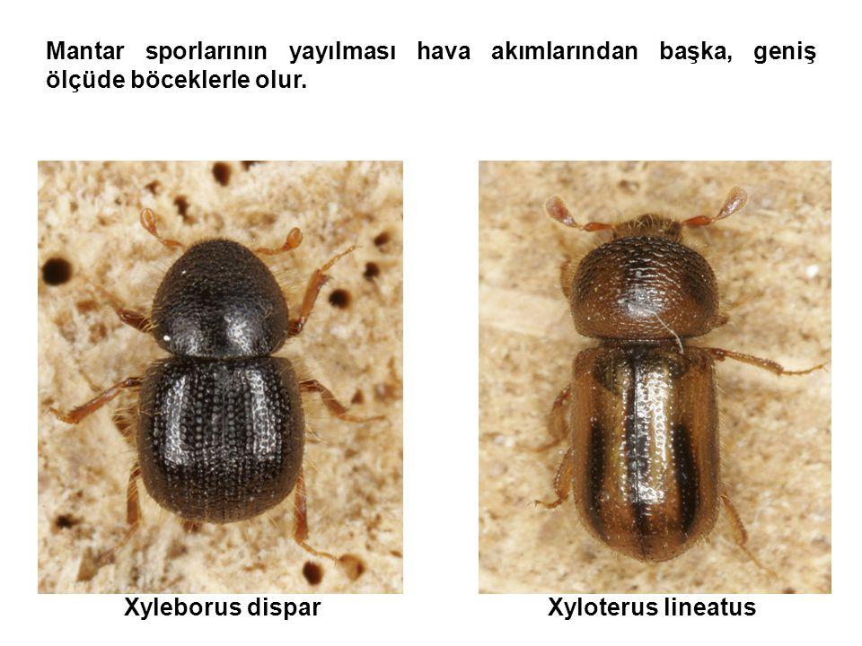 Mantar sporlarının yayılması hava akımlarından başka, geniş ölçüde böceklerle olur. Xyleborus disparXyloterus lineatus