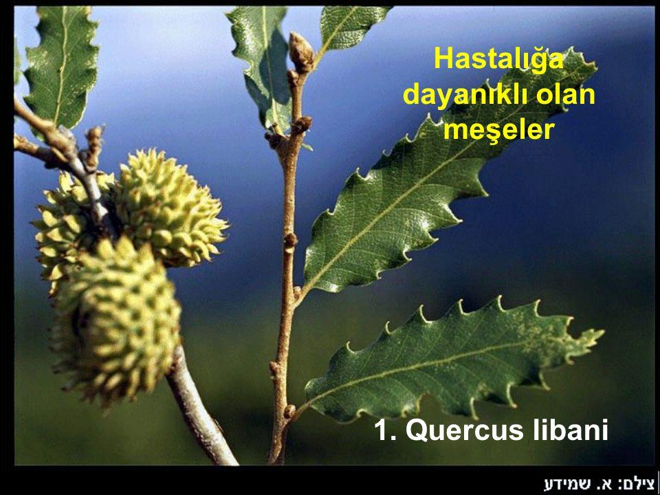 Hastalığa dayanıklı olan meşeler 1. Quercus libani