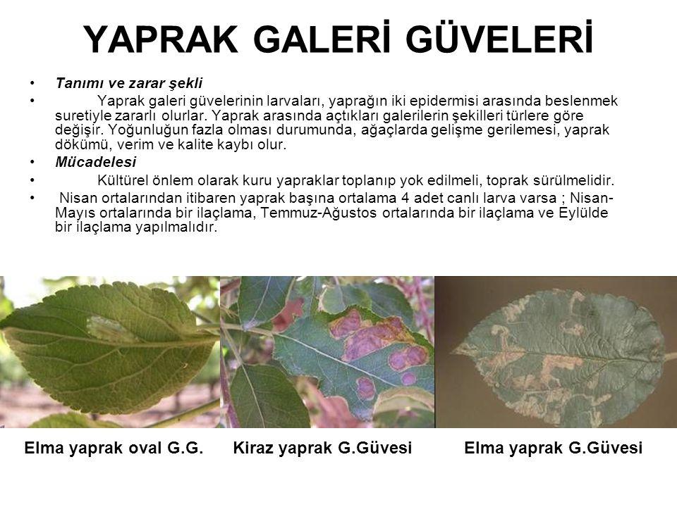YAPRAK GALERİ GÜVELERİ Tanımı ve zarar şekli Yaprak galeri güvelerinin larvaları, yaprağın iki epidermisi arasında beslenmek suretiyle zararlı olurlar