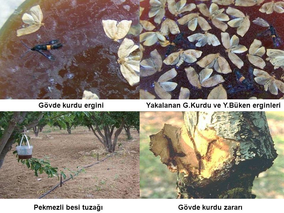 Gövde kurdu ergini Gövde kurdu zararı Yakalanan G.Kurdu ve Y.Büken erginleri Pekmezli besi tuzağı