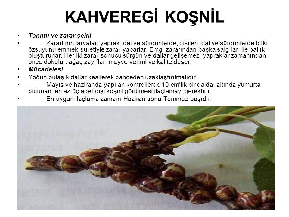 KAHVEREGİ KOŞNİL Tanımı ve zarar şekli Zararlının larvaları yaprak, dal ve sürgünlerde, dişileri, dal ve sürgünlerde bitki özsuyunu emmek suretiyle za