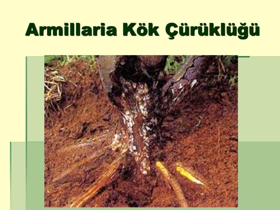 Armillaria ile infekteli topraklarda ceviz bahçeleri kurmadan önce koruyucu önlemler alınmalı, fungus infeksiyonuna dayanıklı anaçlar kullanılmalıdır.