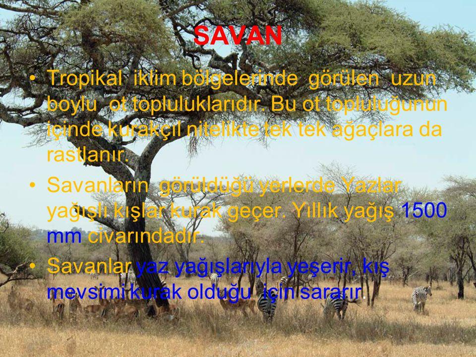 SAVAN Tropikal iklim bölgelerinde görülen uzun boylu ot topluluklarıdır. Bu ot topluluğunun içinde kurakçıl nitelikte tek tek ağaçlara da rastlanır. S