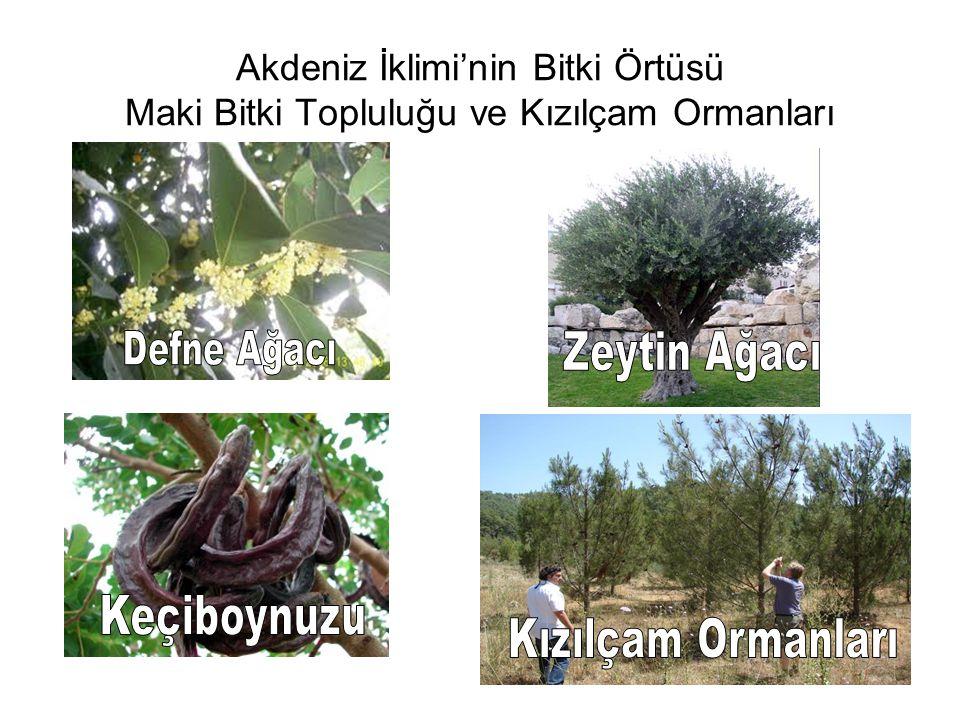 Akdeniz İklimi'nin Bitki Örtüsü Maki Bitki Topluluğu ve Kızılçam Ormanları