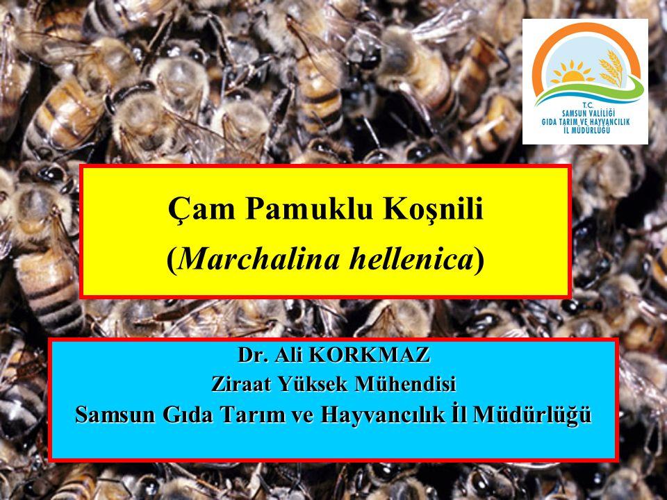 Çam Pamuklu Koşnili (Marchalina hellenica) Dr.