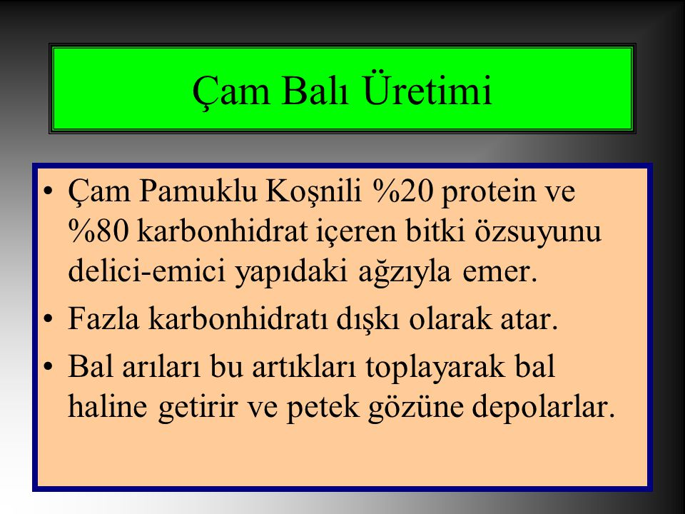 Çam Balı Üretimi Çam Pamuklu Koşnili %20 protein ve %80 karbonhidrat içeren bitki özsuyunu delici-emici yapıdaki ağzıyla emer.