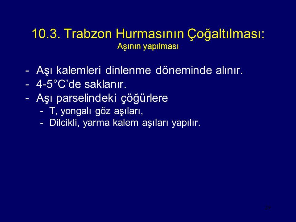 29 10.3. Trabzon Hurmasının Çoğaltılması: Aşının yapılması -Aşı kalemleri dinlenme döneminde alınır. -4-5°C'de saklanır. -Aşı parselindeki çöğürlere -