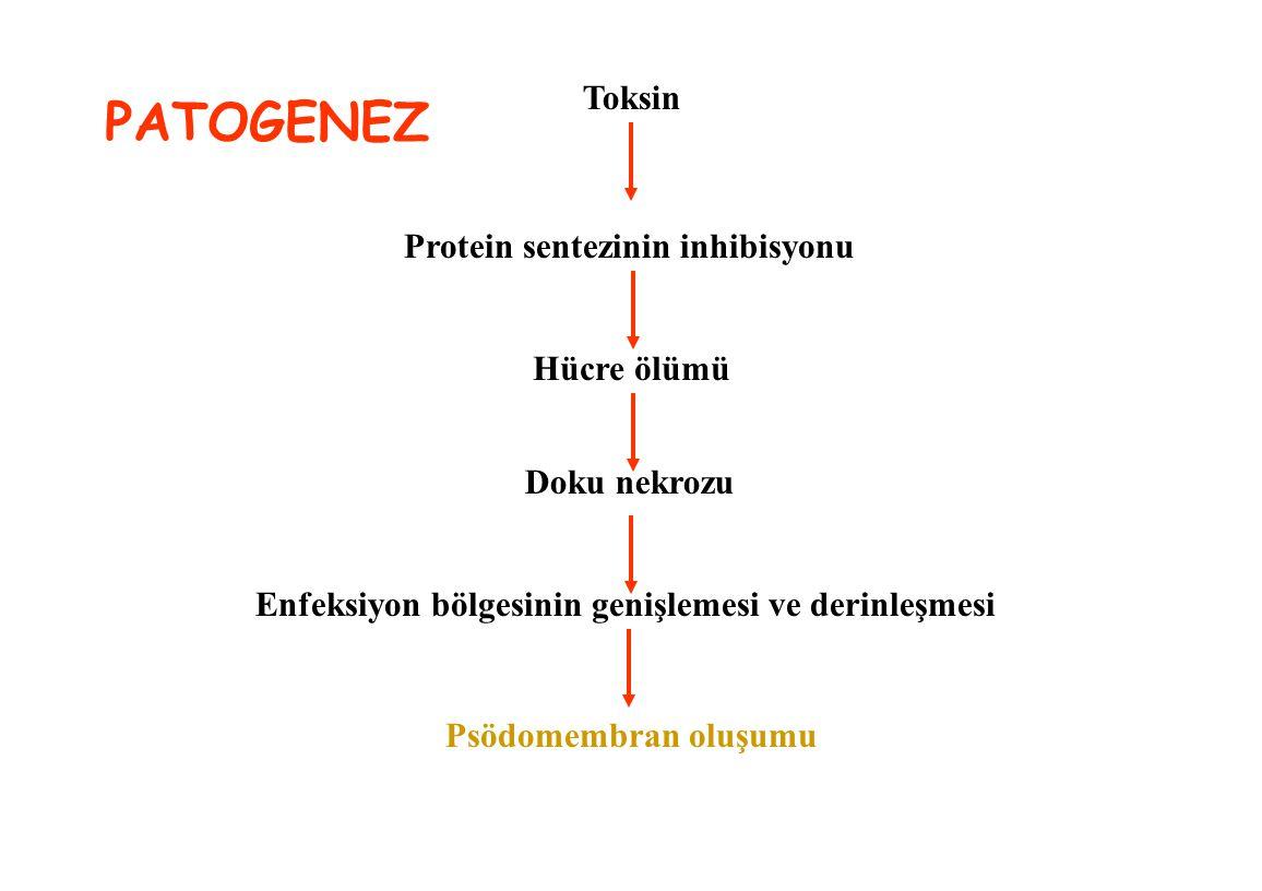 Toksin Protein sentezinin inhibisyonu Hücre ölümü Doku nekrozu Enfeksiyon bölgesinin genişlemesi ve derinleşmesi Psödomembran oluşumu PATOGENEZ