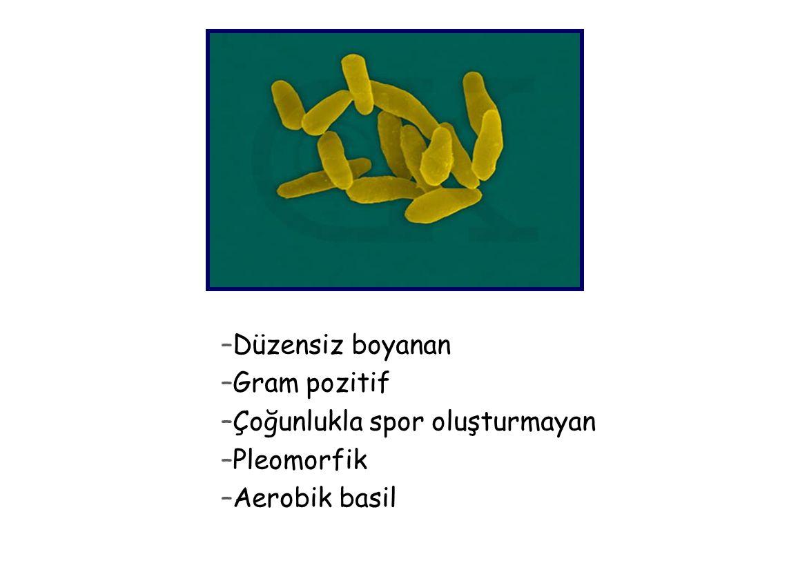 –Düzensiz boyanan –Gram pozitif –Çoğunlukla spor oluşturmayan –Pleomorfik –Aerobik basil
