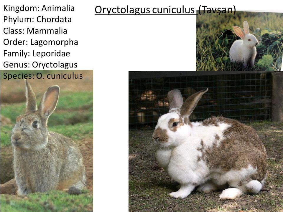 Kingdom: Animalia Phylum: Chordata Class: Mammalia Order: Lagomorpha Family: Leporidae Genus: Oryctolagus Species: O. cuniculus Oryctolagus cuniculus