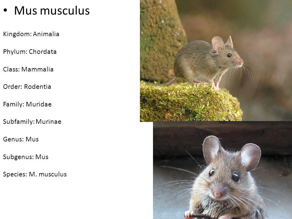 Mus musculus Kingdom: Animalia Phylum: Chordata Class: Mammalia Order: Rodentia Family: Muridae Subfamily: Murinae Genus: Mus Subgenus: Mus Species: M