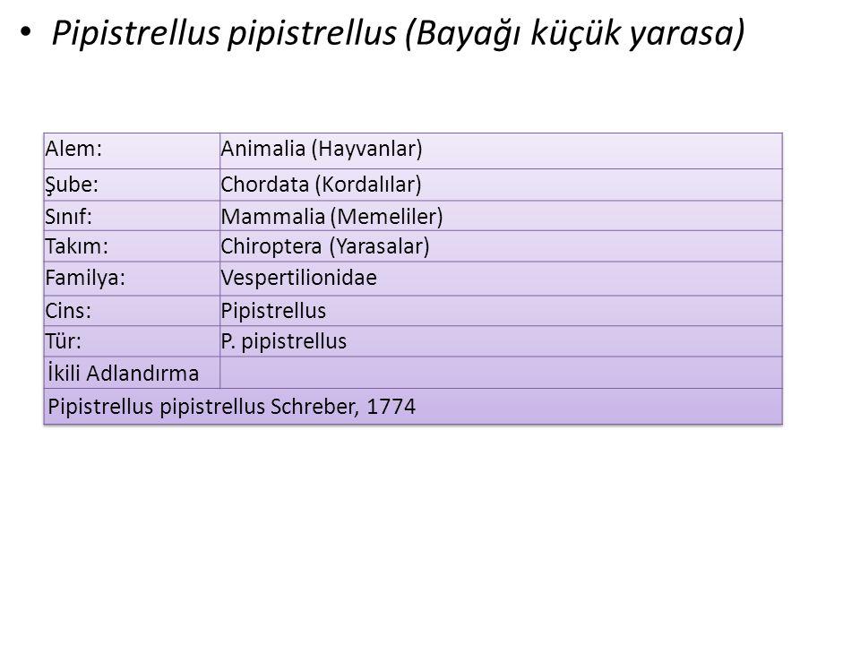 Pipistrellus pipistrellus (Bayağı küçük yarasa)
