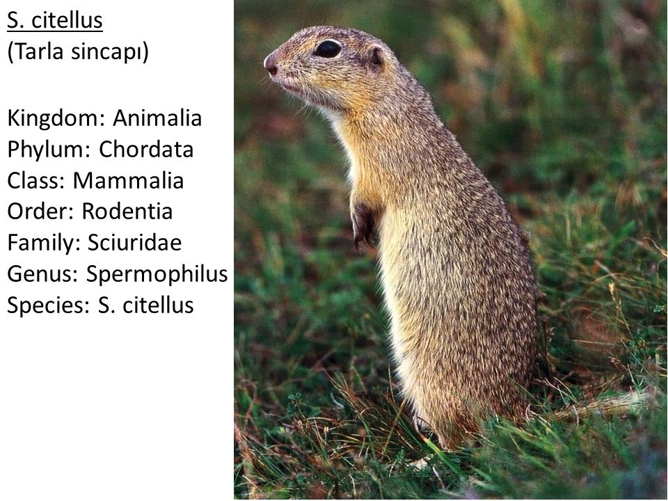 S. citellus (Tarla sincapı) Kingdom: Animalia Phylum: Chordata Class: Mammalia Order: Rodentia Family: Sciuridae Genus: Spermophilus Species: S. citel