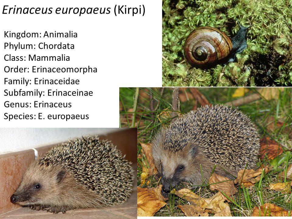 Erinaceus europaeus (Kirpi) Kingdom: Animalia Phylum: Chordata Class: Mammalia Order: Erinaceomorpha Family: Erinaceidae Subfamily: Erinaceinae Genus: