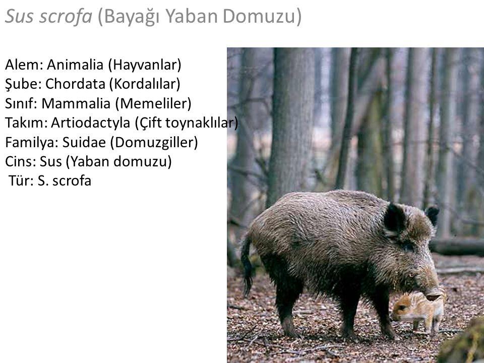 Sus scrofa (Bayağı Yaban Domuzu) Alem: Animalia (Hayvanlar) Şube: Chordata (Kordalılar) Sınıf: Mammalia (Memeliler) Takım: Artiodactyla (Çift toynaklı
