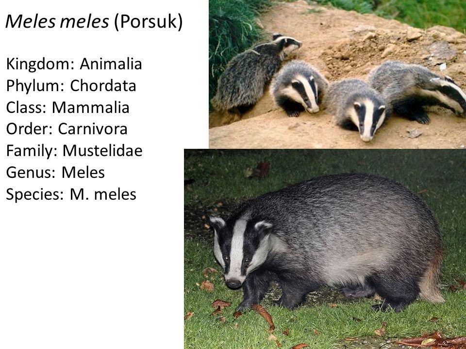 Meles meles (Porsuk) Kingdom: Animalia Phylum: Chordata Class: Mammalia Order: Carnivora Family: Mustelidae Genus: Meles Species: M. meles