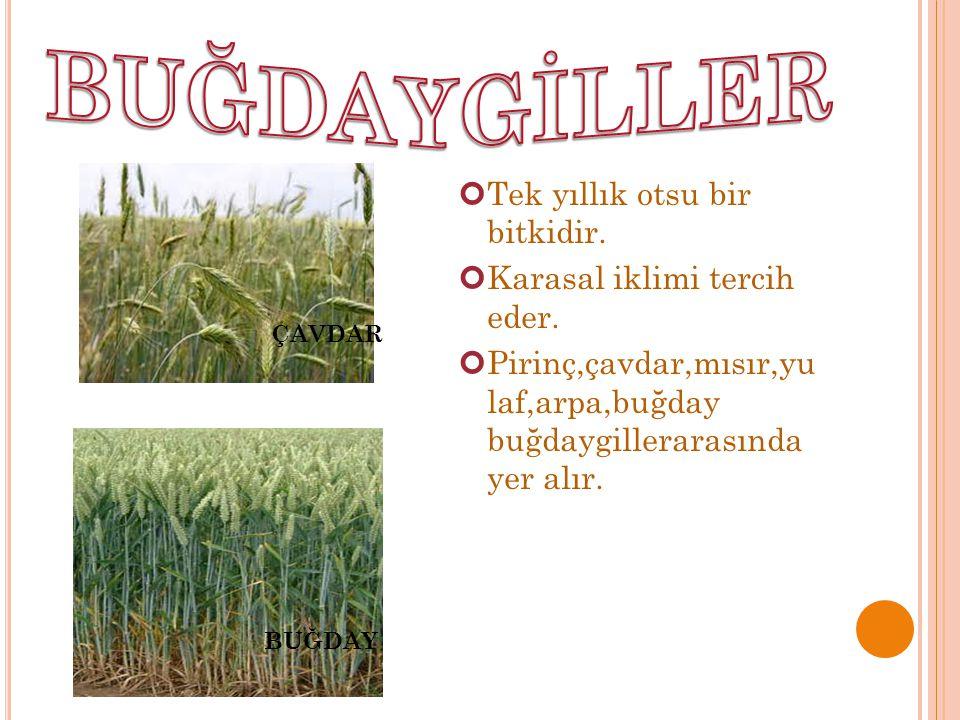 Tek yıllık otsu bir bitkidir. Karasal iklimi tercih eder. Pirinç,çavdar,mısır,yu laf,arpa,buğday buğdaygillerarasında yer alır. ÇAVDAR BUĞDAY