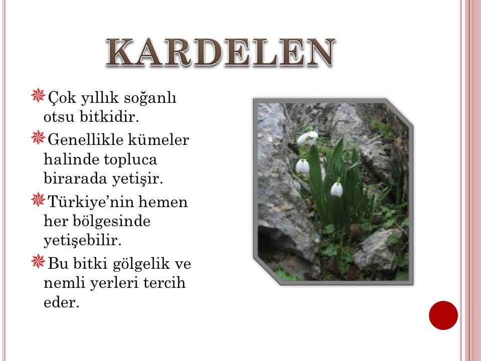  Çok yıllık soğanlı otsu bitkidir. Genellikle kümeler halinde topluca birarada yetişir.