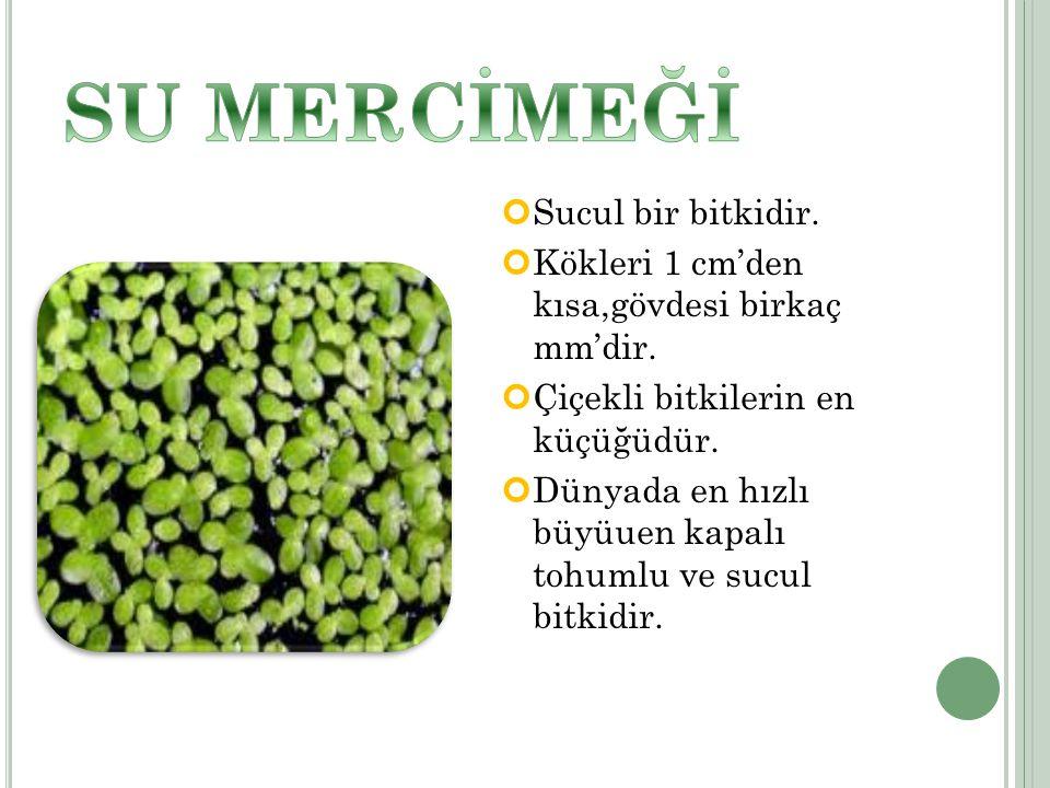 Sucul bir bitkidir.Kökleri 1 cm'den kısa,gövdesi birkaç mm'dir.