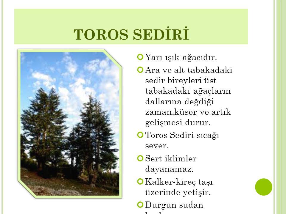 TOROS SEDİRİ Yarı ışık ağacıdır. Ara ve alt tabakadaki sedir bireyleri üst tabakadaki ağaçların dallarına değdiği zaman,küser ve artık gelişmesi durur