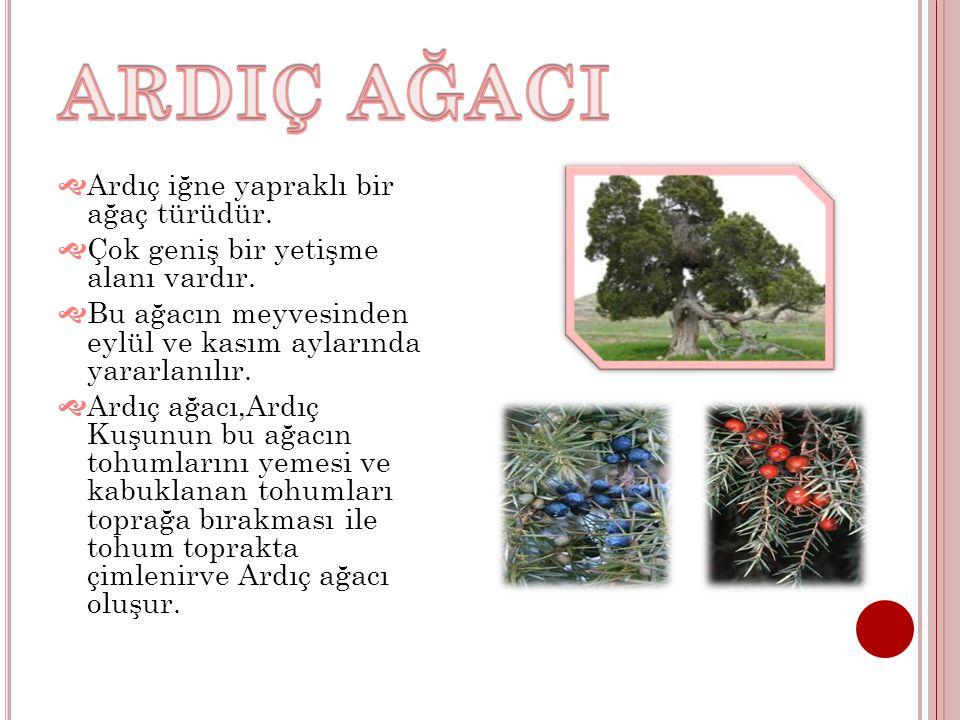  Ardıç iğne yapraklı bir ağaç türüdür.  Çok geniş bir yetişme alanı vardır.  Bu ağacın meyvesinden eylül ve kasım aylarında yararlanılır.  Ardıç a
