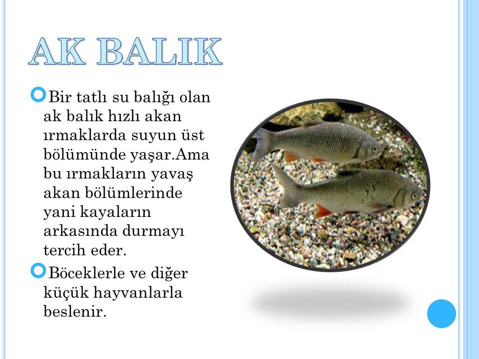 Bir tatlı su balığı olan ak balık hızlı akan ırmaklarda suyun üst bölümünde yaşar.Ama bu ırmakların yavaş akan bölümlerinde yani kayaların arkasında d