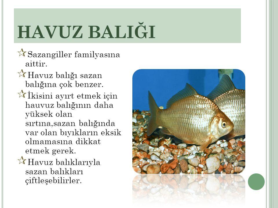 HAVUZ BALIĞI  Sazangiller familyasına aittir.  Havuz balığı sazan balığına çok benzer.  İkisini ayırt etmek için hauvuz balığının daha yüksek olan