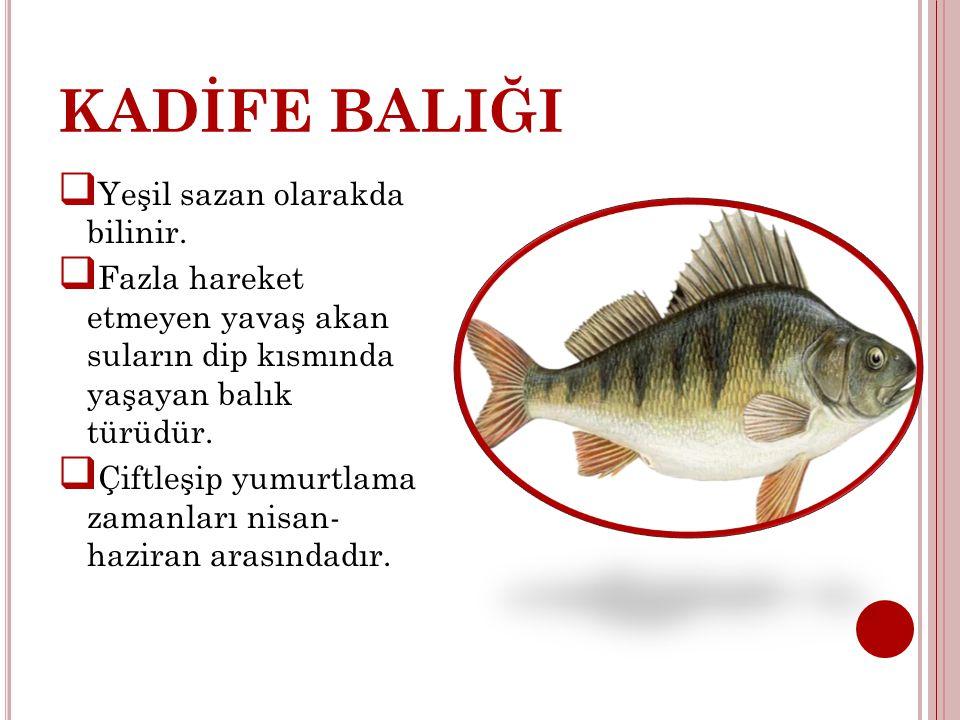 KADİFE BALIĞI  Yeşil sazan olarakda bilinir.  Fazla hareket etmeyen yavaş akan suların dip kısmında yaşayan balık türüdür.  Çiftleşip yumurtlama za