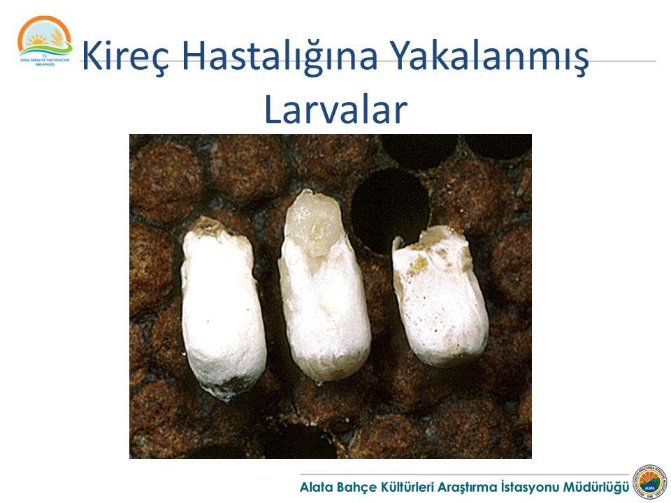 Kireç Hastalığına Yakalanmış Larvalar