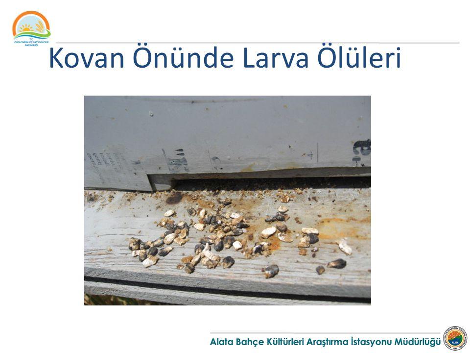 Kovan Önünde Larva Ölüleri