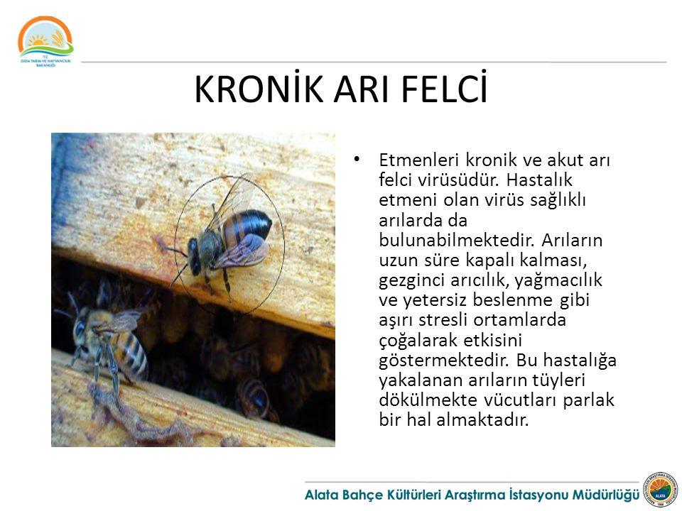 KRONİK ARI FELCİ Etmenleri kronik ve akut arı felci virüsüdür. Hastalık etmeni olan virüs sağlıklı arılarda da bulunabilmektedir. Arıların uzun süre k