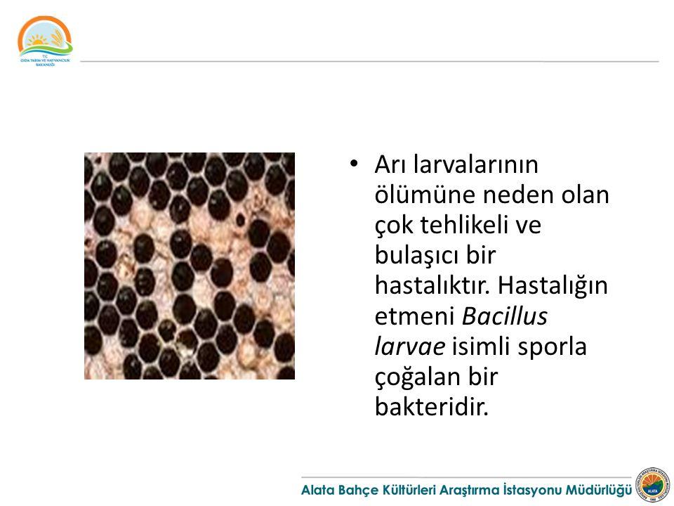 Arı larvalarının ölümüne neden olan çok tehlikeli ve bulaşıcı bir hastalıktır. Hastalığın etmeni Bacillus larvae isimli sporla çoğalan bir bakteridir.