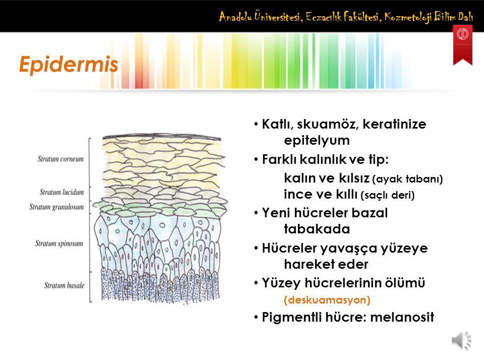 Anadolu Üniversitesi, Eczacılık Fakültesi, Kozmetoloji Bilim Dalı Epidermis Katlı, skuamöz, keratinize epitelyum Farklı kalınlık ve tip: kalın ve kıls