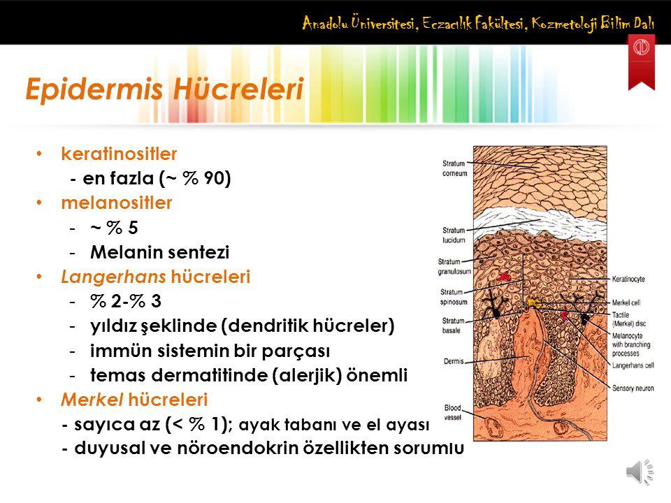 Anadolu Üniversitesi, Eczacılık Fakültesi, Kozmetoloji Bilim Dalı Epidermis Hücreleri keratinositler - en fazla (~ % 90) melanositler - ~ % 5 - Melani