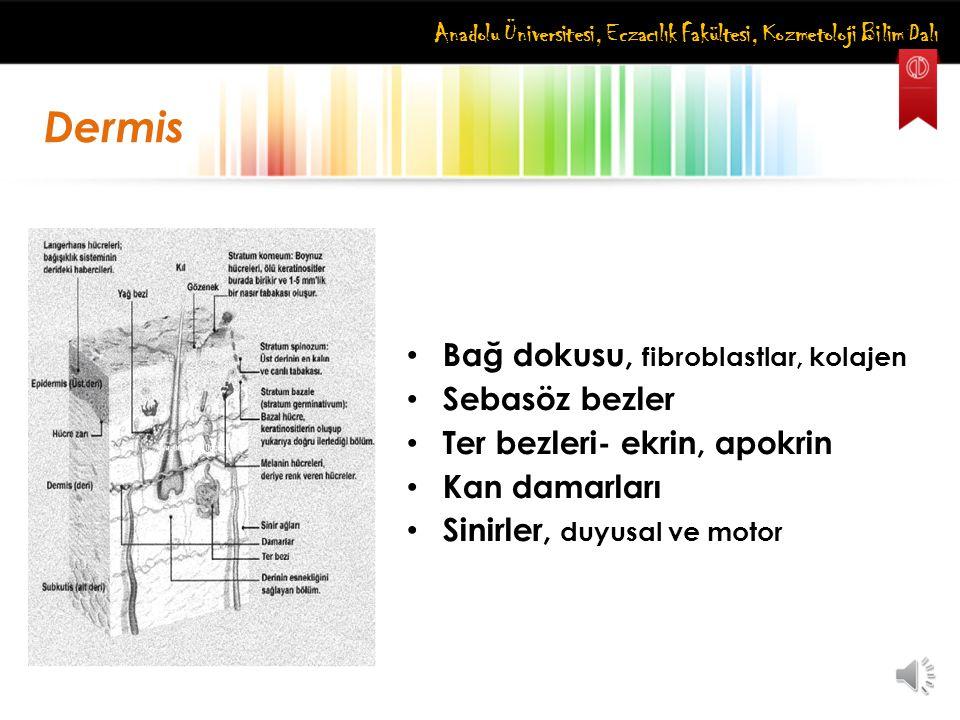 Anadolu Üniversitesi, Eczacılık Fakültesi, Kozmetoloji Bilim Dalı Bağ dokusu, fibroblastlar, kolajen Sebasöz bezler Ter bezleri- ekrin, apokrin Kan da