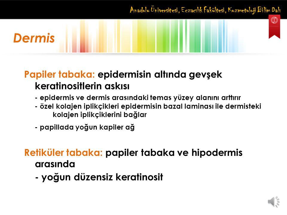 Anadolu Üniversitesi, Eczacılık Fakültesi, Kozmetoloji Bilim Dalı Papiler tabaka: epidermisin altında gevşek keratinositlerin askısı - epidermis ve de