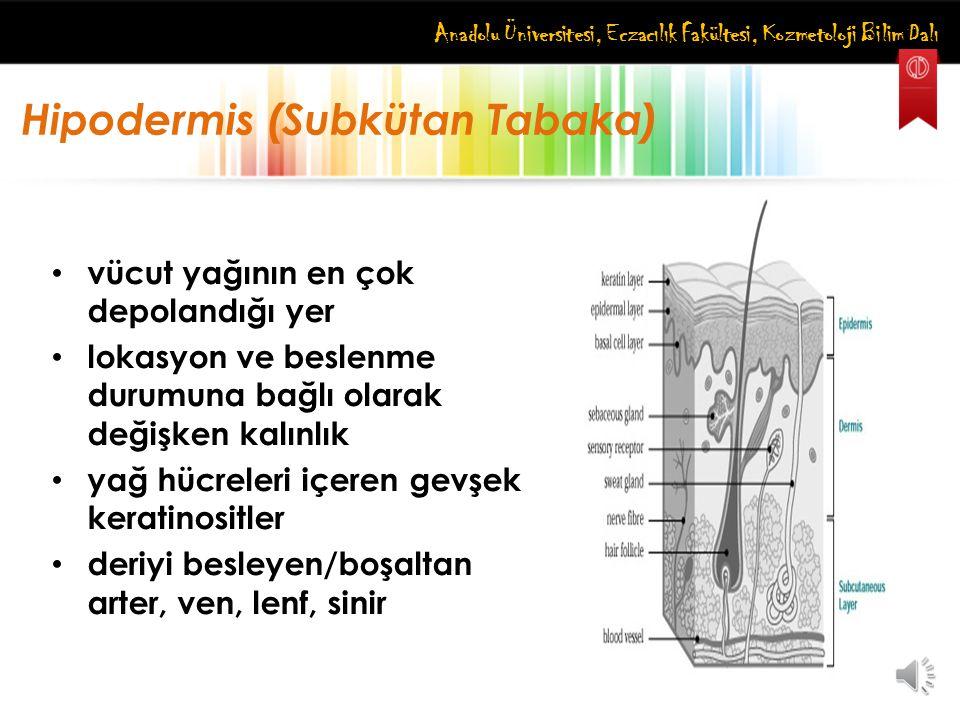Anadolu Üniversitesi, Eczacılık Fakültesi, Kozmetoloji Bilim Dalı Hipodermis (Subkütan Tabaka) vücut yağının en çok depolandığı yer lokasyon ve beslen