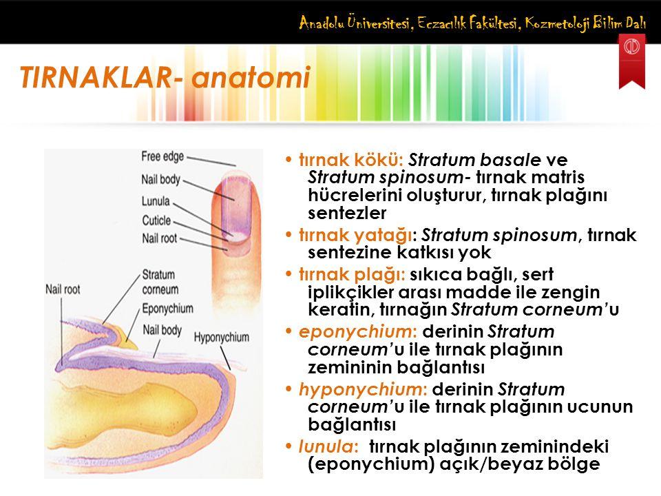 Anadolu Üniversitesi, Eczacılık Fakültesi, Kozmetoloji Bilim Dalı TIRNAKLAR- anatomi tırnak kökü: Stratum basale ve Stratum spinosum- tırnak matris hü