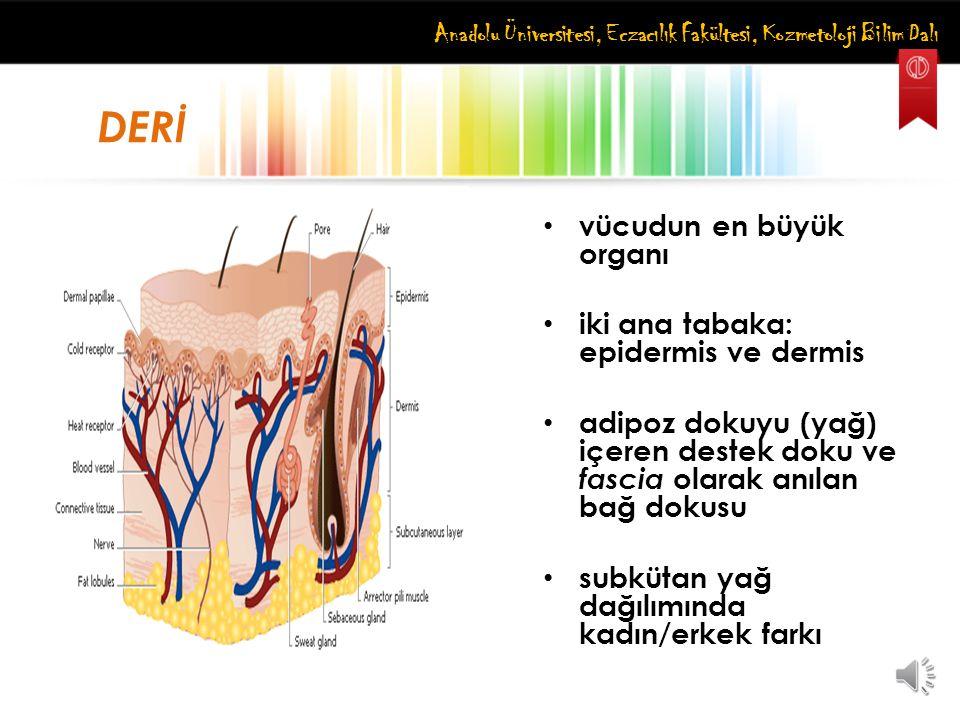 vücudun en büyük organı iki ana tabaka: epidermis ve dermis adipoz dokuyu (yağ) içeren destek doku ve fascia olarak anılan bağ dokusu subkütan yağ dağ