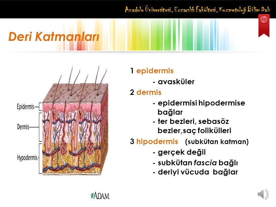 Anadolu Üniversitesi, Eczacılık Fakültesi, Kozmetoloji Bilim Dalı Epidermis Katlı, skuamöz, keratinize epitelyum Farklı kalınlık ve tip: kalın ve kılsız (ayak tabanı) ince ve kıllı (saçlı deri) Yeni hücreler bazal tabakada Hücreler yavaşça yüzeye hareket eder Yüzey hücrelerinin ölümü (deskuamasyon) Pigmentli hücre: melanosit