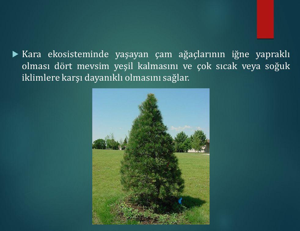  Kara ekosisteminde yaşayan çam ağaçlarının iğne yapraklı olması dört mevsim yeşil kalmasını ve çok sıcak veya soğuk iklimlere karşı dayanıklı olması