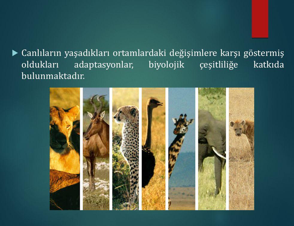  Canlıların yaşadıkları ortamlardaki değişimlere karşı göstermiş oldukları adaptasyonlar, biyolojik çeşitliliğe katkıda bulunmaktadır.