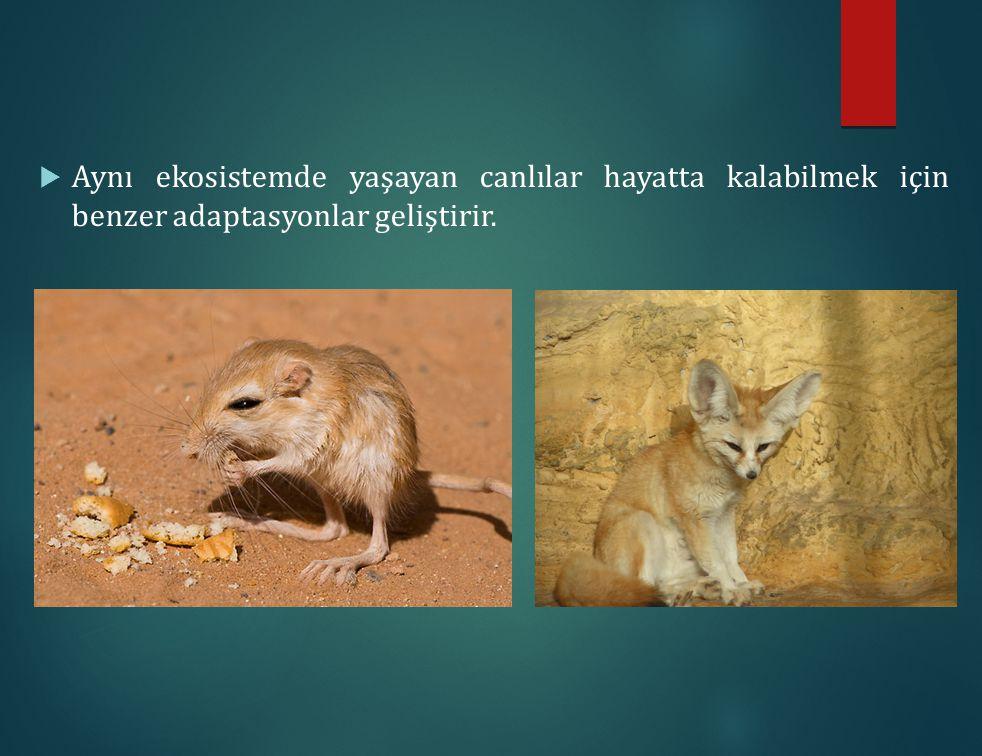  Aynı ekosistemde yaşayan canlılar hayatta kalabilmek için benzer adaptasyonlar geliştirir.