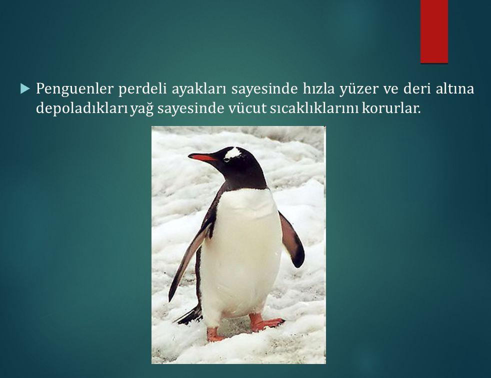  Penguenler perdeli ayakları sayesinde hızla yüzer ve deri altına depoladıkları yağ sayesinde vücut sıcaklıklarını korurlar.