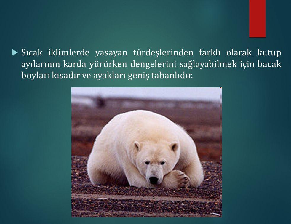  Sıcak iklimlerde yasayan türdeşlerinden farklı olarak kutup ayılarının karda yürürken dengelerini sağlayabilmek için bacak boyları kısadır ve ayakla