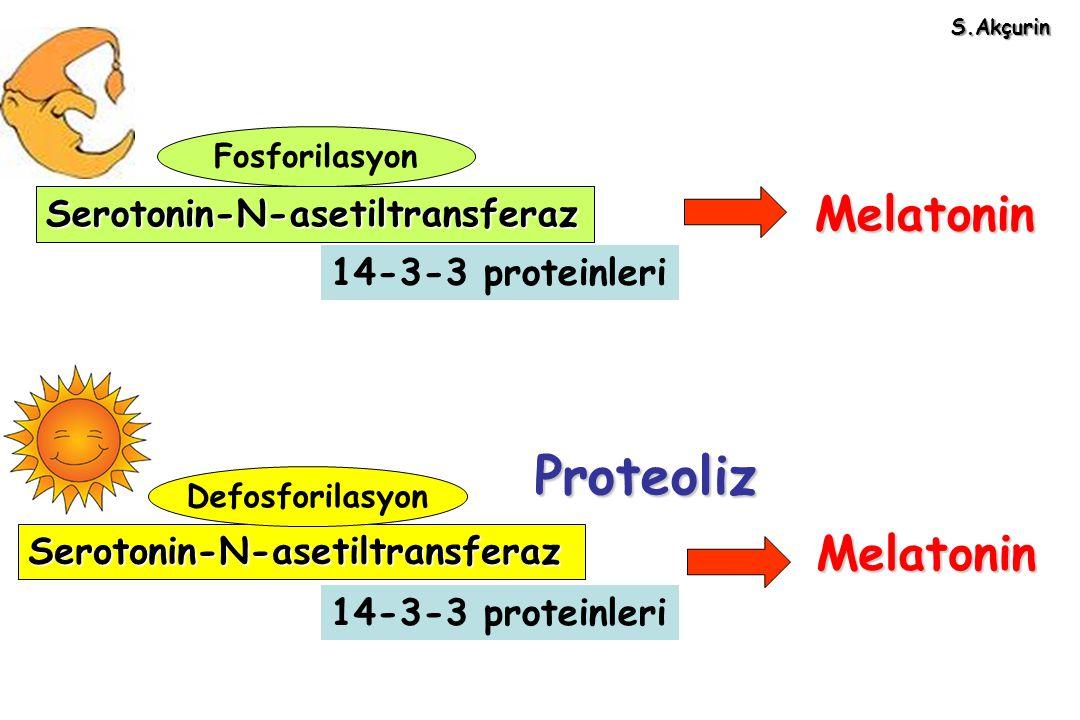 Serotonin-N-asetiltransferaz 14-3-3 proteinleri Fosforilasyon Serotonin-N-asetiltransferaz 14-3-3 proteinleri Serotonin-N-asetiltransferaz Melatonin S