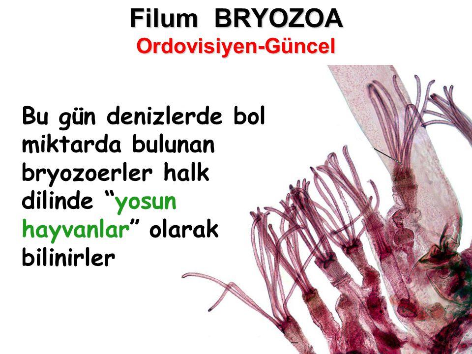 Filum BRYOZOA Ordovisiyen-Güncel Bu gün denizlerde bol miktarda bulunan bryozoerler halk dilinde yosun hayvanlar olarak bilinirler